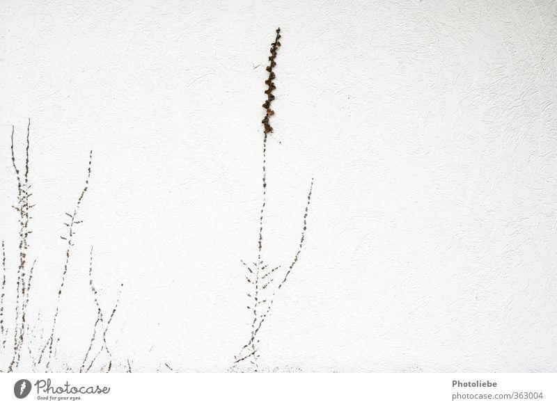Ein Mauerpflänzchen Umwelt Natur Herbst Pflanze Wildpflanze Dorf Menschenleer Einfamilienhaus Wand ästhetisch hell klein braun weiß Wachstum Gedeckte Farben