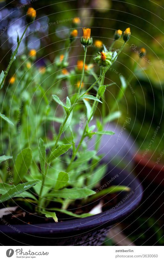 Ackerringelblumen blühen blüte erholung ferien garten kleingarten kleingartenkolonie menschenleer natur pflanze ruhe schrebergarten sommer strauch textfreiraum