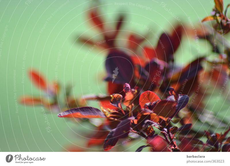 feuriger Strauch Pflanze Sommer Herbst Sträucher Garten leuchten Wachstum frisch viele wild grün rot Gefühle Stimmung ästhetisch Farbe Natur Sinnesorgane