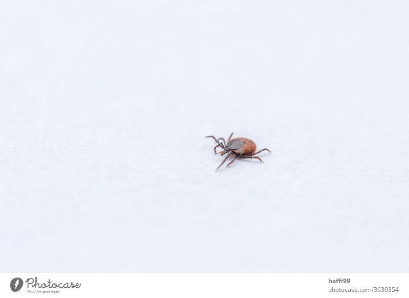 die Zecke kommt ... Hirschzecke Insekt Kieferklauenträger Milben Parasite Spinnentiere bedrohlich Ekel Sommer gefährlich Krankheit Tier Tierporträt klein