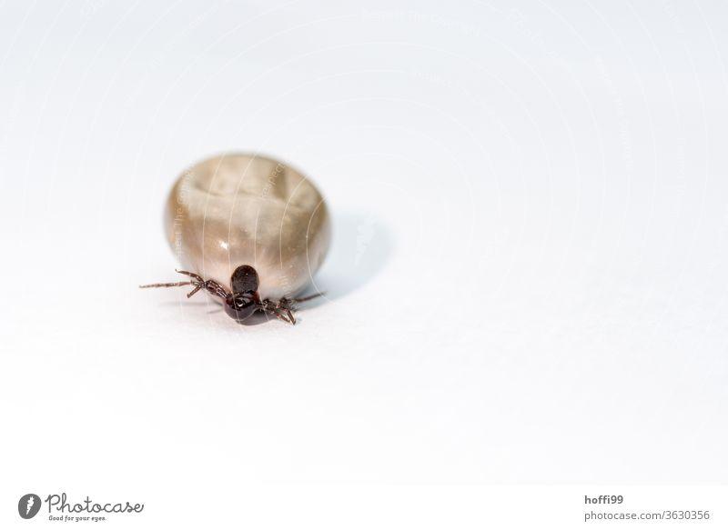 die Zecke geht ... Hirschzecke Insekt Kieferklauenträger Milben Parasite Spinnentiere bedrohlich Ekel Sommer gefährlich Krankheit Tier Tierporträt klein