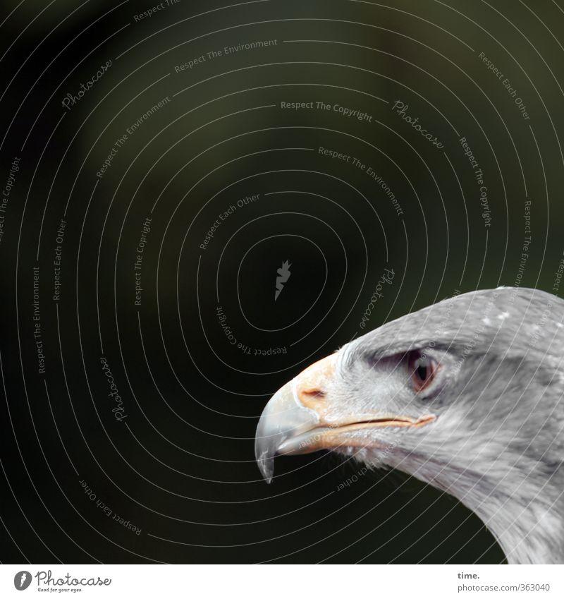 Charakterkopf Natur Tier Leben grau natürlich Vogel wild Wildtier beobachten planen fantastisch Neugier sportlich Wachsamkeit Kontrolle eckig