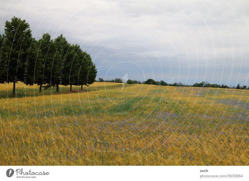 7 Tage durch Brandenburg - hellgraue Trübniss Feld Ackerbau Landwirtschaft Gerste Gerstenfeld Getreide Getreidefeld Weizen Weizenfeld gelb blau Himmel Wolken