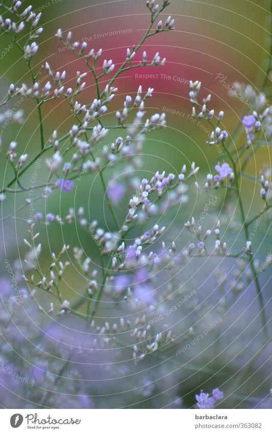 In meinem Garten Sommer Schönes Wetter Pflanze Blume Sträucher Blüte Blühend Wachstum Duft frisch schön viele wild blau grün rot Stimmung Fröhlichkeit