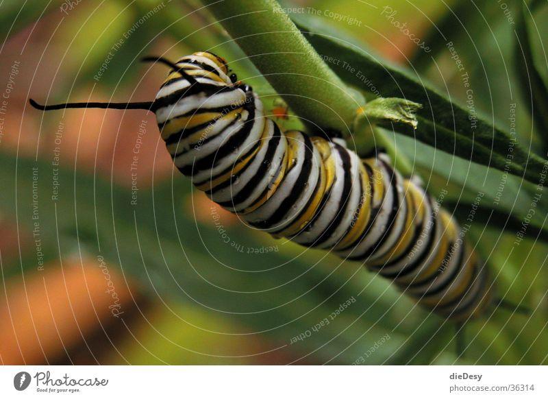 Nimmersatt Insekt Raupe Natur Blattbewohner