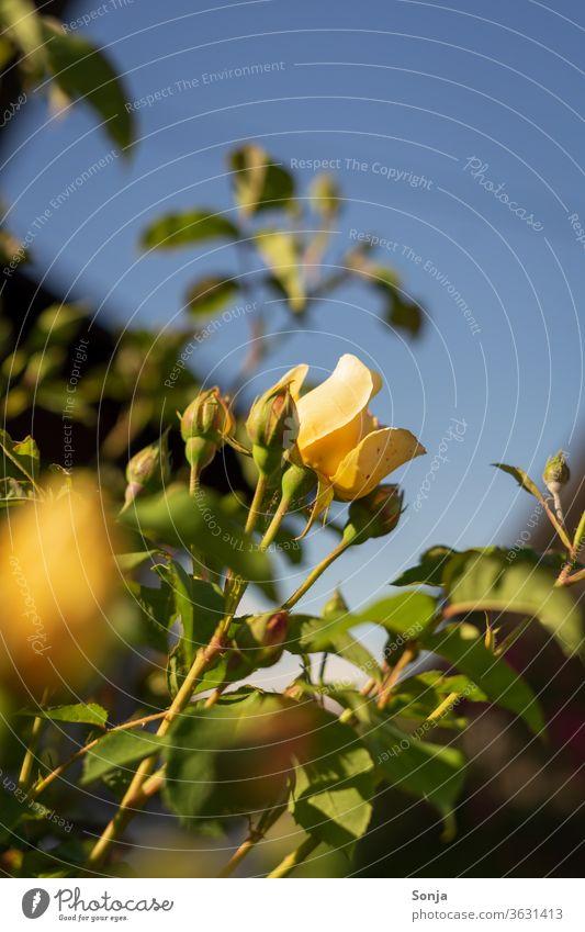 Eine gelbe Rose mit Knospen am Strauch vor eine blauen Himmel, Sommer strauch Blauer Himmel Nahaufnahme Blume Blüte Pflanze Natur Farbfoto Außenaufnahme
