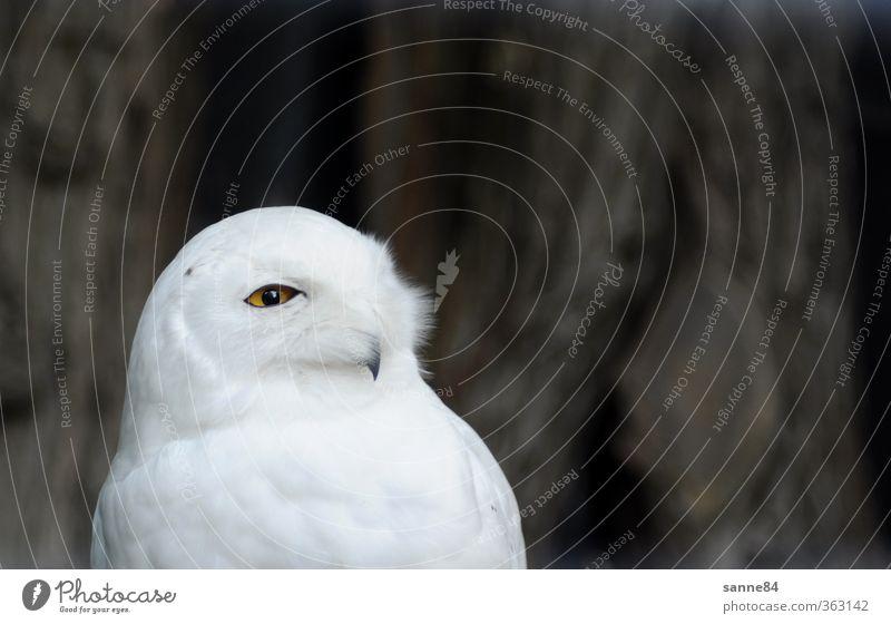 unter Beobachtung Tier Baum Baumrinde Zoo Wildtier Vogel Tiergesicht Eulenvögel 1 Weisheit beobachten Denken Blick hell Neugier klug schön weiß Wachsamkeit