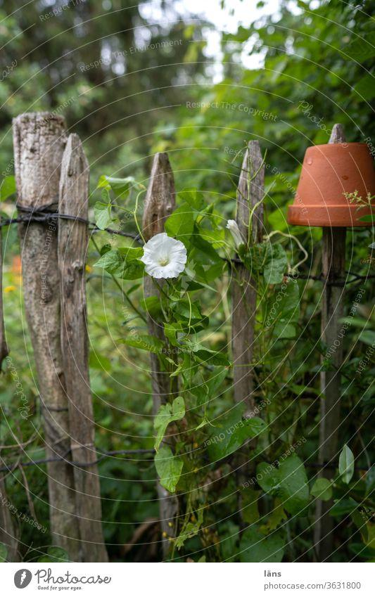 Zaunwinde Blüte Staketenzaun Sommer Garten Außenaufnahme Menschenleer Pflanze Schwache Tiefenschärfe Blühend Wachstum Tag Farbfoto Blumentopf