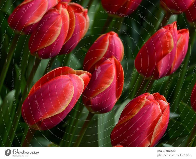 Mehrere rosa roten Tulpen mit gelben Streifen auf den Blütenblätter zwischen ihren grüne Blätter. blüten blumen garten rosarot natur natürlich schön romantisch