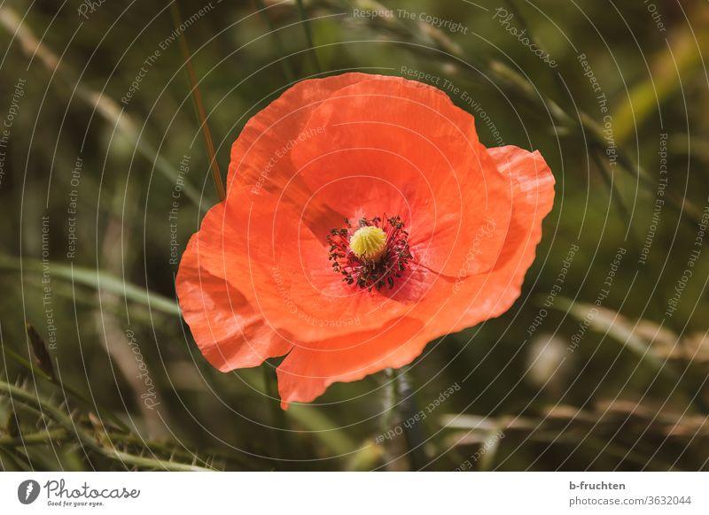 einzelne Mohnblume, Mohnblüte- Nahaufnahme Sommer Blume Natur Blüte rot Wiese Blühend Wildpflanze Klatschmohn Feld Menschenleer Pflanze roter mohn