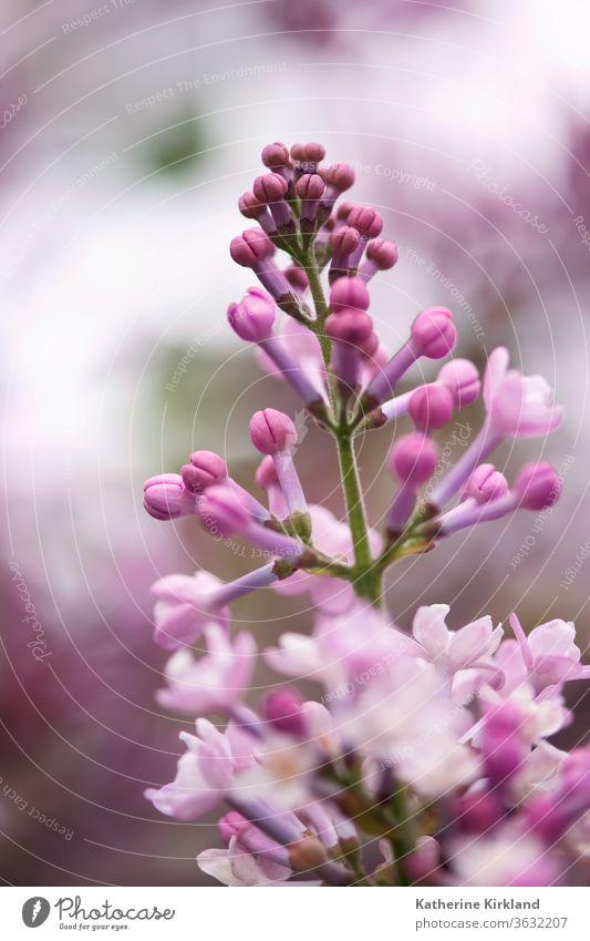 Rosa Flieder Knospen Fliederbusch purpur rosa Frühling Blume geblümt Flora Saison saisonbedingt Gelassenheit Frieden friedlich filigran Strauch Buchse Blütezeit