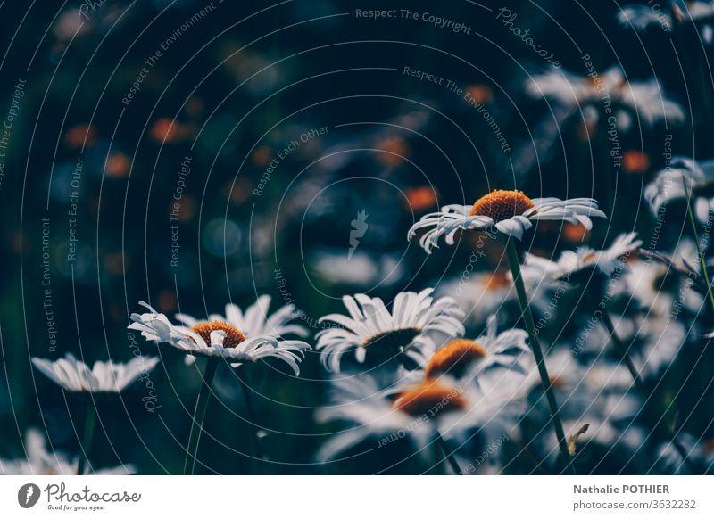 Sommerfeld mit weißen Gänseblümchen in Europa. Hübsche Blumen im Sommer. Margeriten Feld Wiese farbenfroh Landschaft ländlich gelb geblümt natürlich Blüte