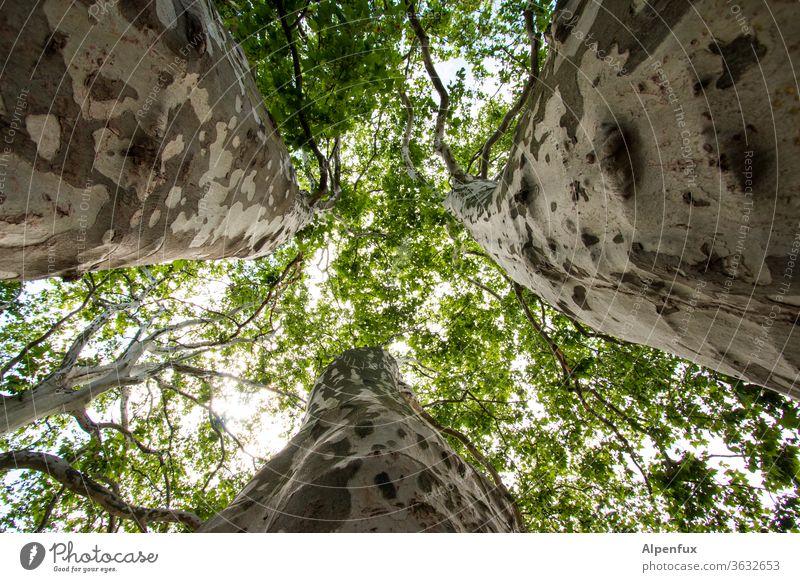 Treffen sich drei Bäume....... Baumstamm Stamm Natur Umwelt Außenaufnahme Wald grün Tag Ast Menschenleer Pflanze Froschperspektive Baumrinde Farbfoto Blatt