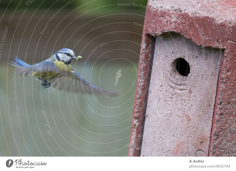 Blaumeise im Flug vor dem Nistkasten Kohlmeise Vogel Vogelkasten fliegen Tier Farbfoto Meisen Natur Wildtier Flügel füttern Außenaufnahme Tierporträt Feder