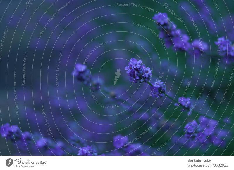 Lavandula angustifolia bei Dämmerung mit satten Farben Lavendel Blüte violett Heilpflanzen Duft Sommer Blume Natur Pflanze Blühend Geruch grün Farbfoto Tag