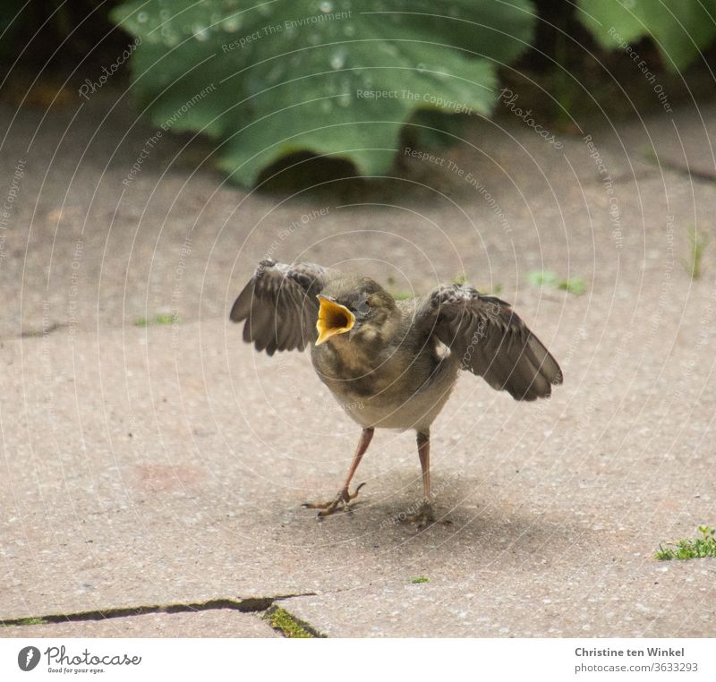 Die kleine junge Bachstelze / Motacilla alba ist jetzt sehr hungrig und bettelt und ruft nach Nahrung Wippsteert Jungvögel Jungtier Singvogel warten sitzen Tier