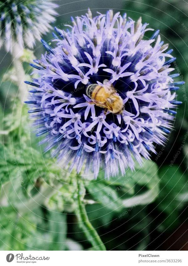 Insekt und eine Blume Biene, Blume, Blüte Nektar Pollen Makroaufnahme Nahaufnahme Tier Flügel Sommer, blau, Wiese, Flora