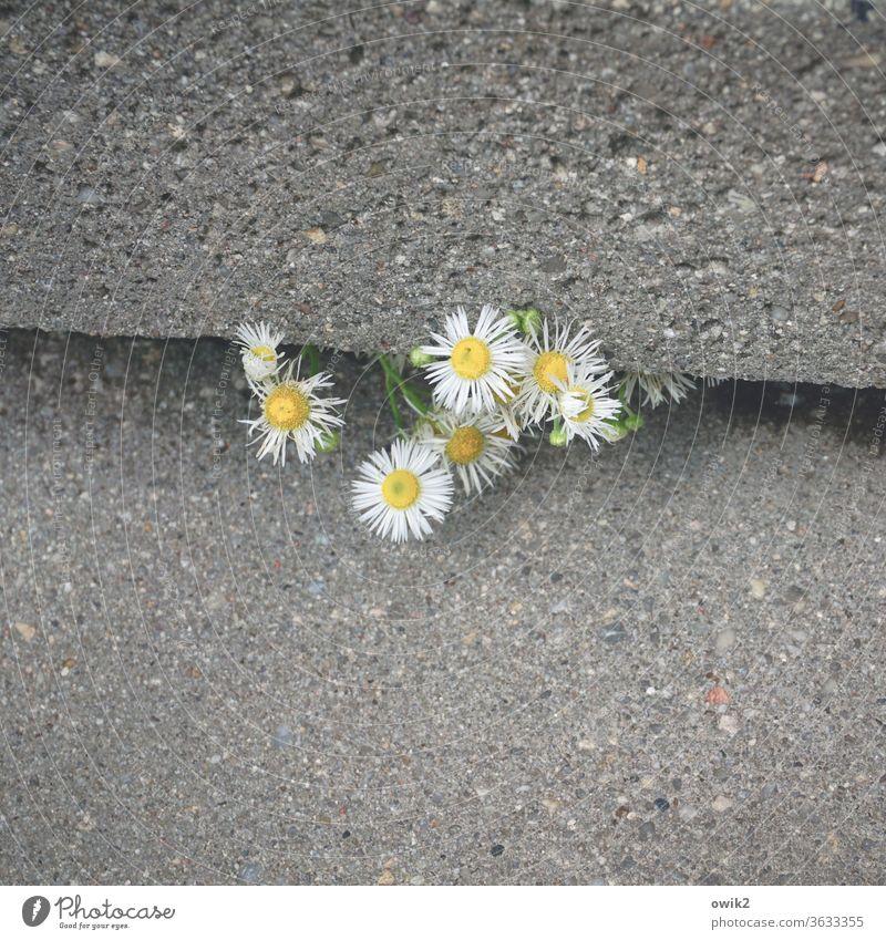 Zähe Jungs neugierig lugen keck Detailaufnahme Nahaufnahme Blumen Blüten hervorlugen klein Treppe Treppenstufen Beton grau schwer grob Spalte unaufhaltsam