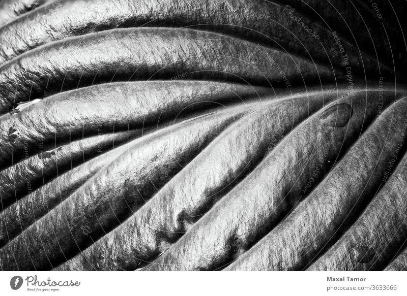 Hosta-Blatt mit Regentropfen Agavoideae spargeln Spargeln Monokots Angiospermen Hintergrund Nahaufnahme Tau Tropfen Tröpfchen Umwelt Flora Laubwerk frisch