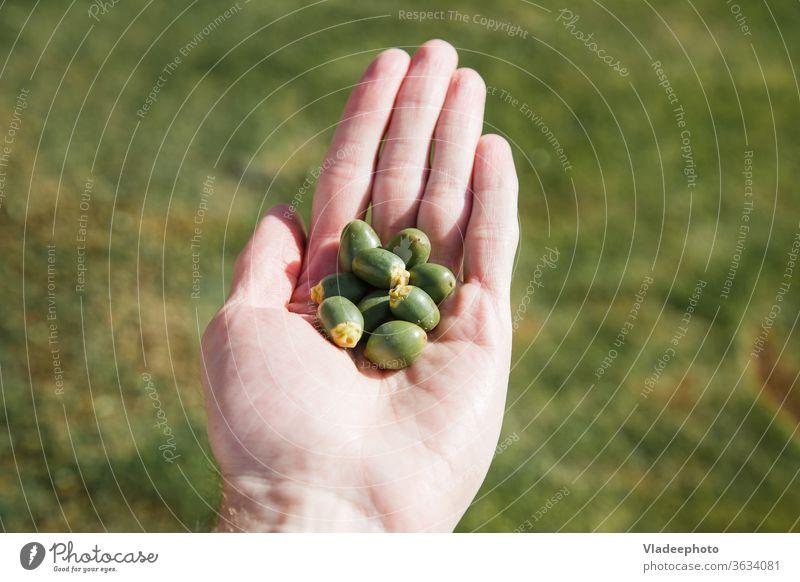 eine Handvoll unreifer Datteln in der männlichen Handfläche. Frucht Daten Termin & Datum Dattelfrucht grün Lebensmittel Ackerbau Hintergrund Mann getrocknet
