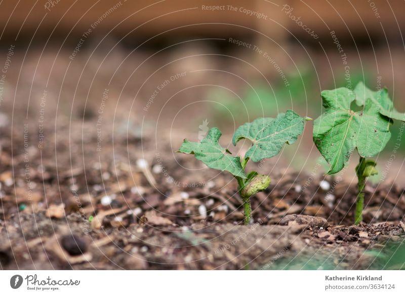 Grüne Bohnen Setzlinge grün Blätter Blatt braun Keimling sprießen neu Leben jung Baby Nahaufnahme Veggie Vegetarier Gemüse Veganer Garten Gartenarbeit Pflanze
