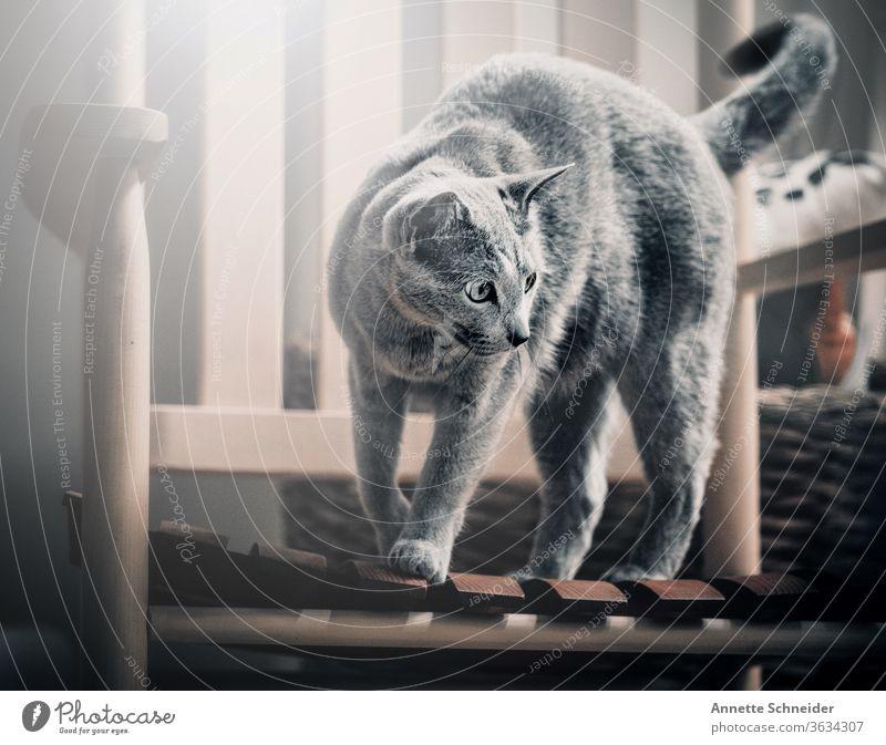 Katze auf Schaukelstuhl Haustiere Fell Rassekatze grau schön Ein Tier Innenaufnahme Tierporträt Lebensfreude Mut