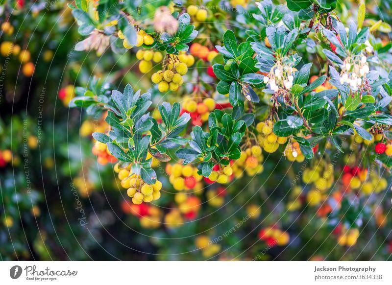 Arbutusfrüchte und Blüten am Baum Beeren arbutus Früchte Blumen Portugal Pflanze Gartenarbeit Arbutusfrucht essbare rote Beeren irischer Erdbeerbaum Blätter