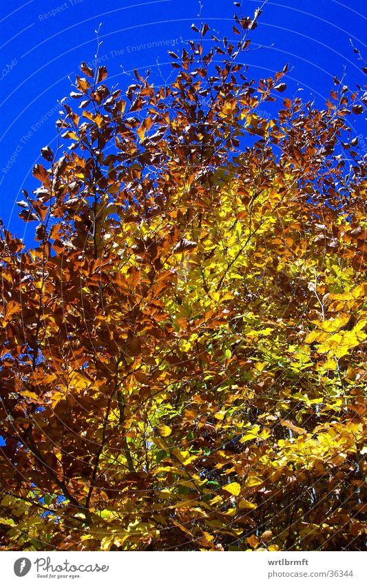 Goldener Oktober Blatt Herbst mehrfarbig gelb Baum gold Himmel blau