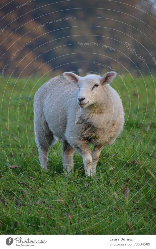 Schaf Porträt auf Weide Wolle Wiese Tier Tierporträt Nutztier Natur Außenaufnahme Gras Landschaft Umwelt Blick grün Feld weiß natürlich Schafherde