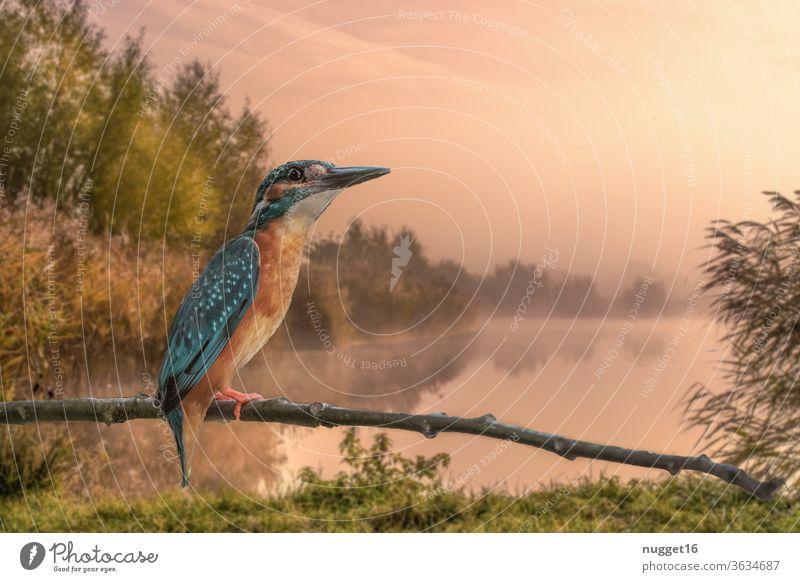 Eisvogel auf Ast Predator birdie wetland kingfisher still park metallic hunter ornithology shiny little birdwatching birds wildlife Tierporträt Außenaufnahme