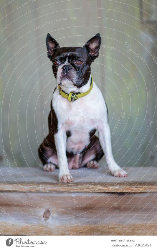 Boston Terrier Hund boston terrier Bostonterrier Französische Bulldogge Hundeblick niedlich Tierporträt Stolz sitzen Haustier Außenaufnahme Reinrassig Rassehund