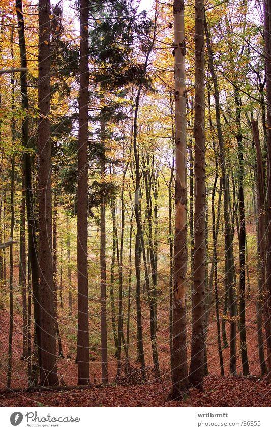 Herbstlicher Wald Baum grün Blatt gelb braun Bodenbelag Ast Baumstamm Zweig Baumrinde