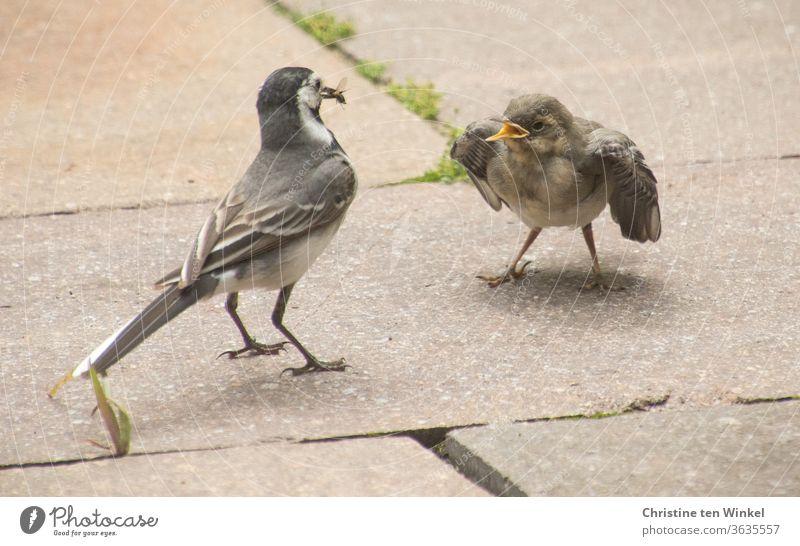 Endlich Frühstück! Bettelnde junge Bachstelze und Altvogel mit einem Insekt im Schnabel Wippsteert Jungvögel Jungtier klein hungrig Motacilla alba Singvogel