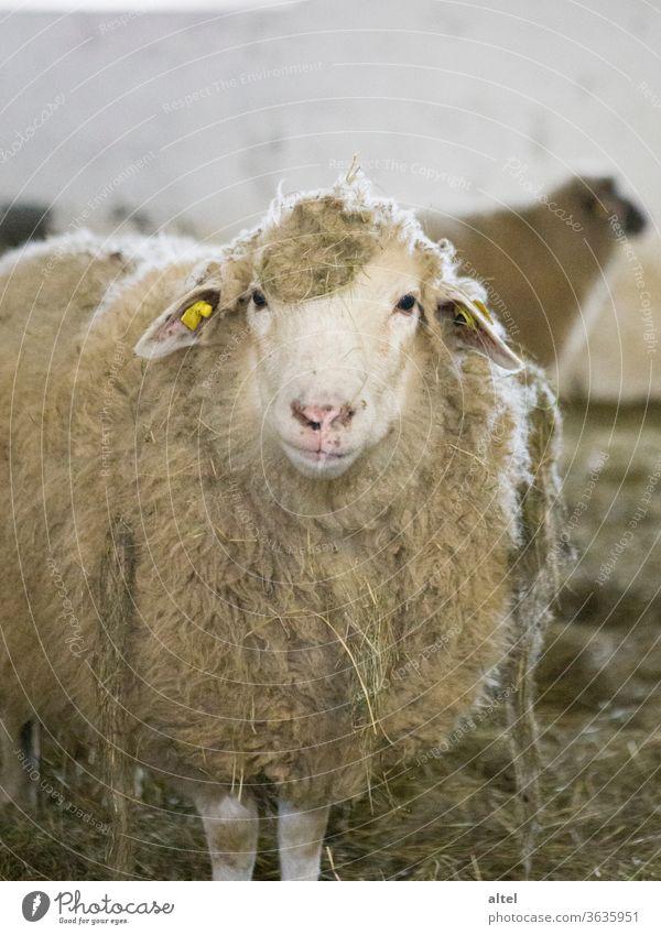 Mäh! Schaf Stall Portrait Tier artgerecht Tierhaltung Tierportrait Natur Landwirtschaft Biologische Landwirtschaft Bauernhof Bioprodukte Menschenleer
