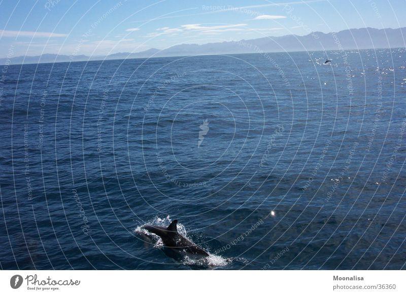 Dolphins Delphine Meer Neuseeland Wasser Wasserfahrzeug Schiffstour