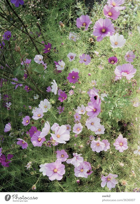 Eine Art Lila Cosmea Blumen Blüten blühend Sommer Außenaufnahme Menschenleer leuchtende Farben Blühend Nahaufnahme Sonnenlicht Umwelt Detailaufnahme Pflanze
