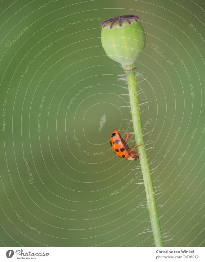 Der kleine Marienkäfer hatte keine Mühe, den behaarten Stengel der schon verblühten Mohnblume hinabzuklettern Insekt krabbeln Mohnkapsel Stängel Blumenstengel