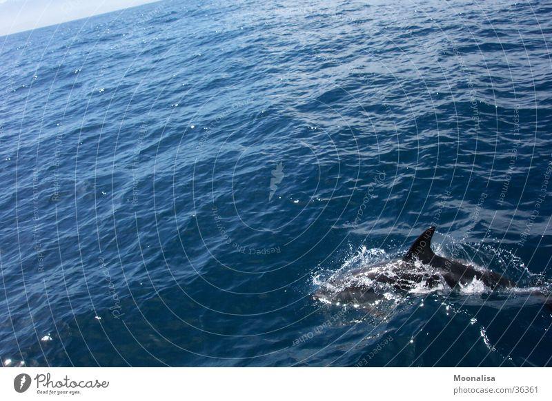 Delphin - Lebensfreude pur! Delphine Meer Wellen Rückenflosse Wasser Schiffstour beobachten