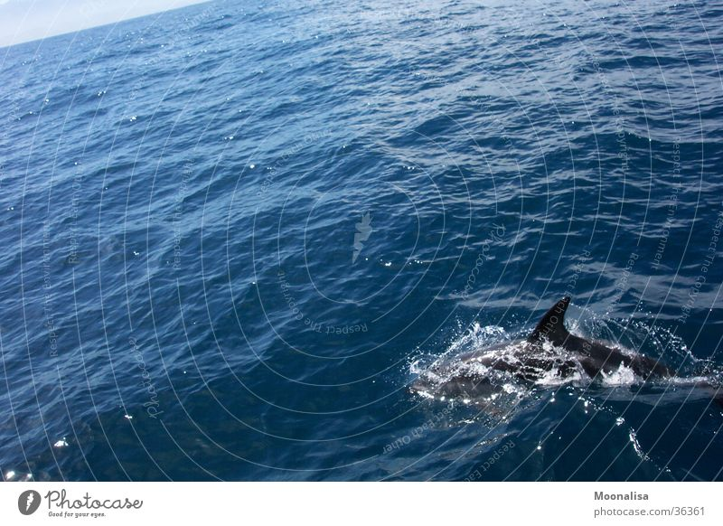 Delphin - Lebensfreude pur! Wasser Meer Wellen beobachten Delphine Wal