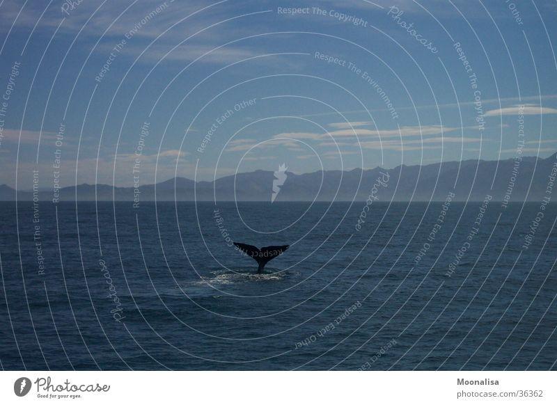Whale-Watching Wal Schwanzflosse Meer tauchen Pottwal Walfischflosse