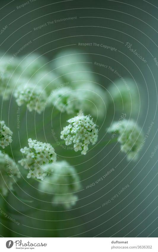 Weiße Wiesenblume vor grünem Hintergrund Blume weiß Schierling Doldenblütler Weiße Möhre Blüte Stilleben Hintergund Ästethik Reinheit Klarheit blühen erblühen