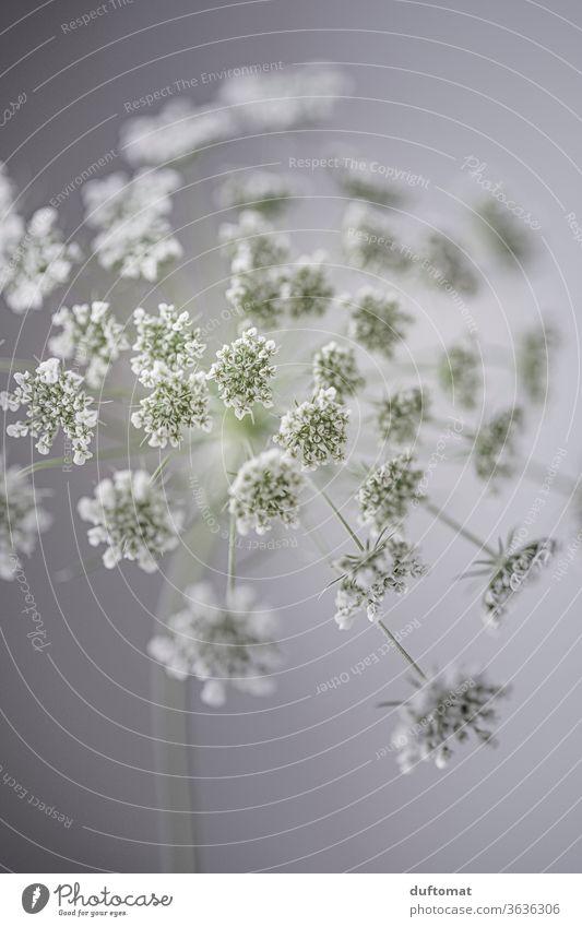 Weiße Wiesenblume, Studioaufname Blume weiß Schierling Doldenblütler Weiße Möhre Blüte Stilleben Hintergund Ästethik Reinheit Klarheit blühen erblühen Frische