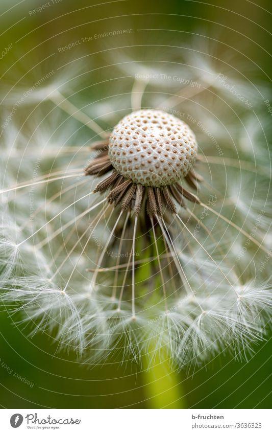 Pusteblume Nahaufnahme Löwenzahn Blume Pflanze Natur Frühling Samen Makroaufnahme Detailaufnahme Außenaufnahme Sommer Blüte natürlich verblüht