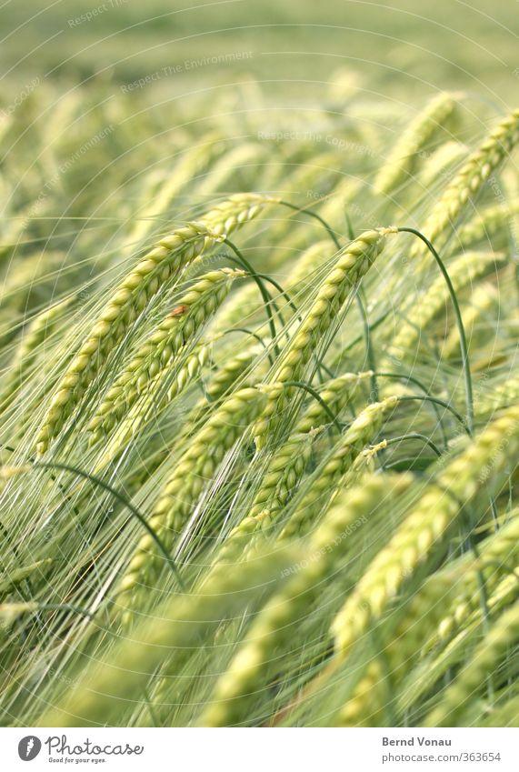 >>>>>>-------- Sommer Pflanze Nutzpflanze Feld Wachstum grün braun reif Ernte Wind Ackerbau Ähren Außenaufnahme Biegung biegen gekrümmt herunterhängend Gewicht