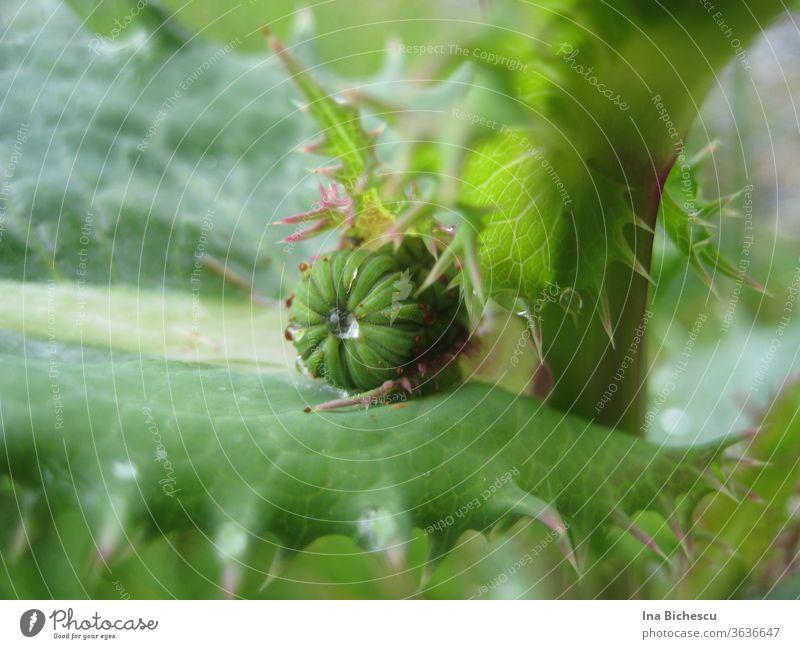 Eine grüne Knospe zwischen einem kleinen und  einem großen, grün-rosa gezackten Blätter, mit Wassertropfen darauf. zacken wasser rund eingequetscht zart schön