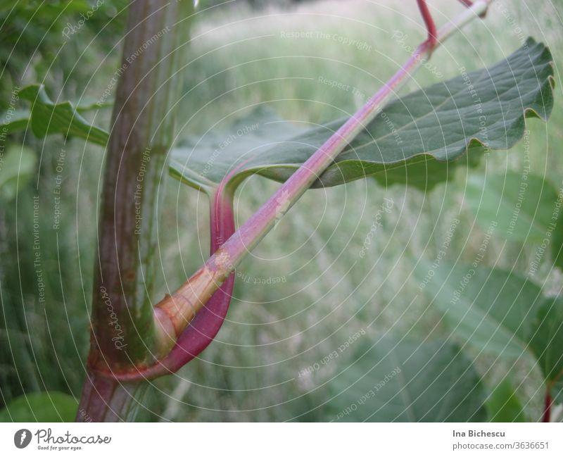 Ein großer grüner Blatt mit rosa rotem Stängel an einem anderen rosa-grünen Stängel von der Seite fotografiert. blatt rosarot stängel profil Perspektive