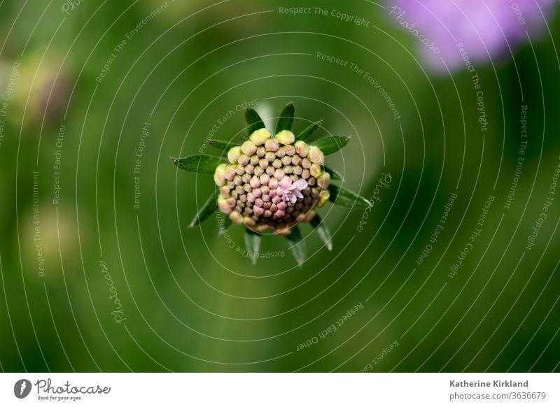 Nadelkissen-Blütenknospen purpur Blume Flora geblümt Frühling Sommer Saison saisonbedingt natürlich Natur Garten Gartenarbeit botanisch Pflanze scabiosa