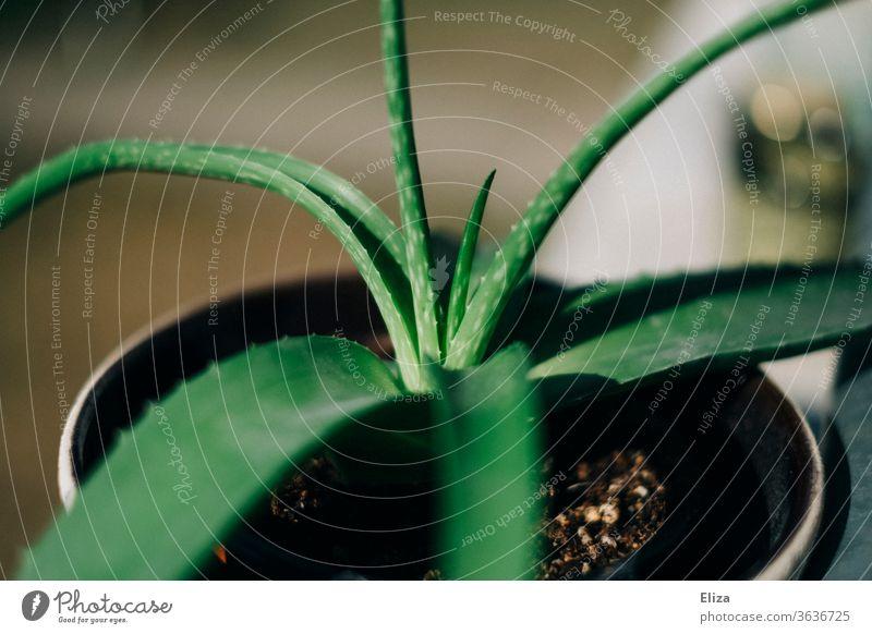 Aloe Vera Pflanze im Topf mit hängenden Blättern grün Blumentopf Gesundheit Zimmerpflanze