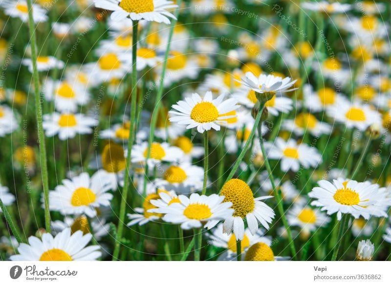 Weißes Gänseblümchen auf grünem Feld Blume weiß Kamille Natur Wiese Frühling Blüte viele Sommer Pflanze schön Gras natürlich Hintergrund gelb Saison sonnig