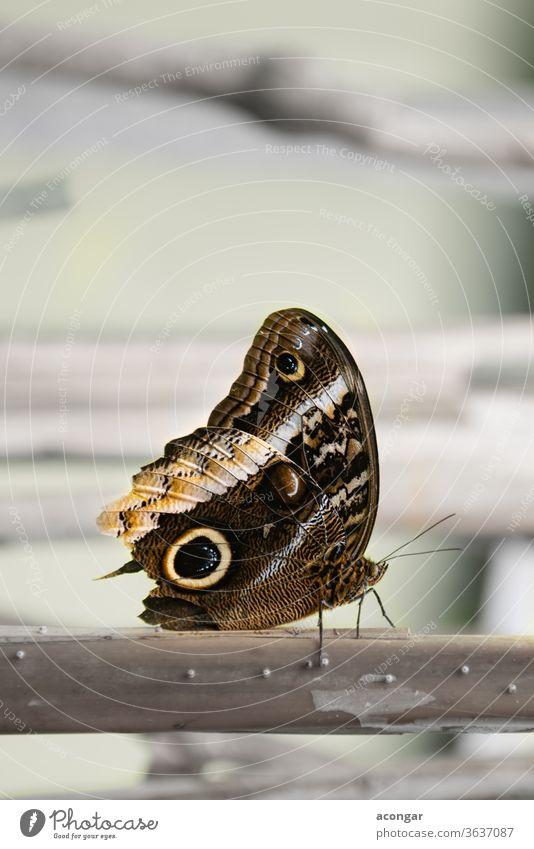 Riesenkauz, Goldrand-Kauz-Schmetterling, Goldener Kaligo (Caligo uranus) Makro amerika Tier Arthropode Hintergrund schön Biologie braun Bürste Wanze